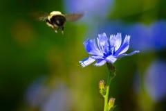& x22; Flyg av stappla Bee& x22; Royaltyfri Foto
