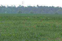 4x Hares sitting in a field. Picture of 4x European hares Lepus europaeus or Brown hare sitting in a field trying not to get noticed. The backdrop in the Royalty Free Stock Image