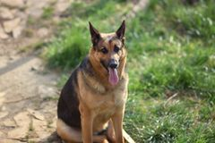 `Roxanne` pure bred female german shepherd dog. This 6000 x 4000 HD photo features a beautiful 3 year old female pure bred german shepherd dog posed outdoors in royalty free stock photography