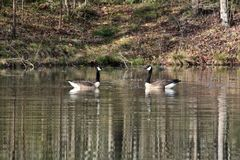 `Geesen` Two Canadian Geese posing for a portrait on a lake. This 6000 x 4000 HD photo features a pair of mating Canadian Geese posing on a serene lake for a Royalty Free Stock Photography