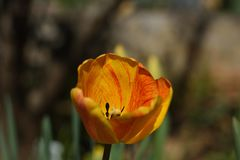 `Hair on Fire` Raw unretouched red yellow and orange tulip bulb blossom royalty free stock photo