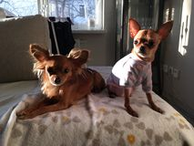 & x22; Lola & Gulle& x22; terrier de brinquedo do russo Fotos de Stock