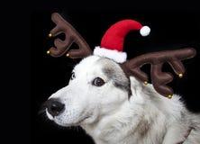 X mass Siberian husky. Cute siberian husky dog with X mass hat Stock Images