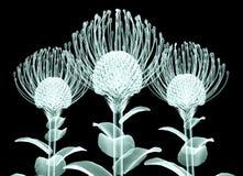 X射线辐射在黑色隔绝的花,点头的Pincushi的图象 免版税库存图片