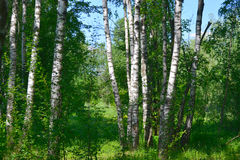 6016x4016pix-birch-grove_spring-trees-in-the-park royaltyfri fotografi