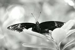 The & x22;Queen& x22; Butterfly royalty free stock photography