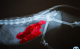 X ray for  dog Stock Images