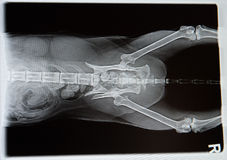 X-ray from dog Royalty Free Stock Photo