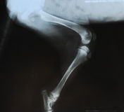 X-ray fracture in the tibia of a puppy. Radiograph show a fracture in the tibia of a young dog (growth plates are still open). Scan slide film Stock Image