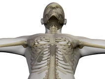 X ray of human body and skeleton Royalty Free Stock Photos