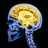 X-ray of a human head royalty free illustration