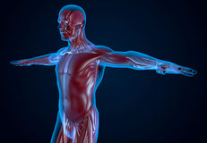 X-Ray Human Musculature Royalty Free Stock Images