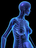 X-ray illustration of female human body and skelet Royalty Free Stock Photos