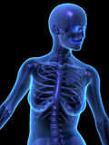 X-ray illustration of female human body and skelet Royalty Free Stock Images
