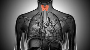 X-ray  illustration of the female thyroid gland Royalty Free Stock Photography