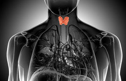 X-ray  illustration of the male thyroid gland Royalty Free Stock Photography