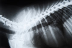 X-ray image of a dog Royalty Free Stock Photos