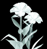 X-ray image of a flower on black , the coxcomb Stock Images