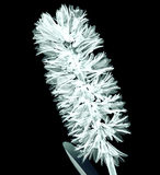 X-ray image of a flower on black , the Hyacinth Royalty Free Stock Images