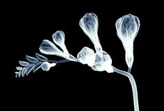 X-ray image of a flower isolated on black , the freesia Royalty Free Stock Photos