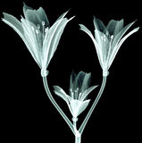 X-ray image flower isolated on black , the Pink Tiger Lily Royalty Free Stock Photography