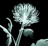 X-ray image flower isolated on black , the Pompon Chrysanthemum Royalty Free Stock Photo