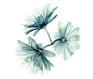 X-ray image flower isolated  , passion flower Royalty Free Stock Photography
