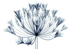 X-ray image of a flower isolated on white , Bell Agapanthus Royalty Free Stock Photo