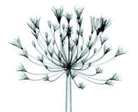 X-ray image of a flower isolated on white , the Bell Agapanthus vector illustration