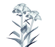 X-ray image of a flower isolated on white , the coxcomb vector illustration