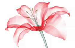 X-ray image of a flower isolated on white , the Lily. X-ray image of a flower isolated on white, the Lily 3d illustration royalty free illustration