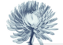 X-ray image of a flower isolated on white , the Pompon Chrysanth. X-ray image of a flower  isolated on white , the Pompon Chrysanthemum 3d illustration Royalty Free Stock Photo