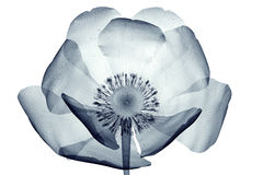X-ray image of a flower isolated on white , the poppy Papaver Stock Photo