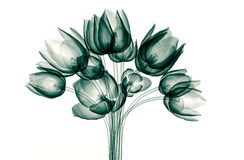 X-ray image of a flower isolated on white , the tulip Royalty Free Stock Photo