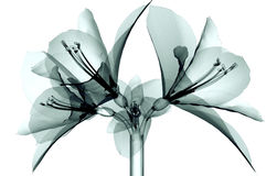 X-ray Image Of A Flower Isolated On White , The Amaryllis Royalty Free Stock Image