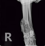 X-ray of osteosarcoma bone tumor foreleg a dog. stock photos