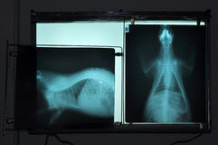 X-ray picture. S of porcupine, veterinary use in the diagnosis of diseases that occur with it Stock Photos