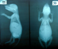 X ray picture of wild animal Stock Images