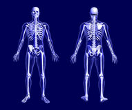 X-Ray Skeleton on Blue. 3D render of an X-ray skeleton on blue, front and back views Stock Images