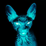 X-ray sphynx cat portrait. Fear and horror picture Royalty Free Stock Image