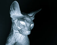 X-ray sphynx cat portrait. Fear and horror picture Stock Image