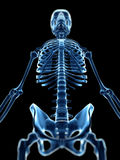 X-ray style skeleton Stock Photos