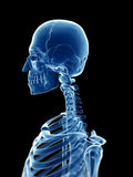 X-ray style skeleton Royalty Free Stock Image