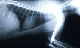 X-ray Thorax cat. X-ray of the thorax of a cat Royalty Free Stock Image