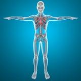 X-ray thorax Stock Photos