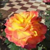 & x22; Rose& x22; Foto de Stock Royalty Free