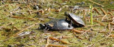 It& x27; s de Lente voor schildpadden ook! Stock Fotografie