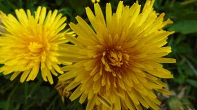 It& x27;s spring. Photo of two yellow flowers set with green leaves Royalty Free Stock Image