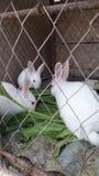 white rabbits eating royalty free stock photo
