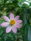 It& x27; s un fiore variopinto Fiore del gelsomino in un giardino Fotografia Stock Libera da Diritti